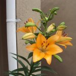 Orange Iris